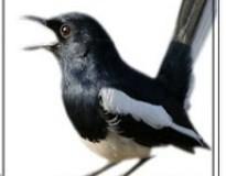 Download Gratis Aplikasi Kumpulan Suara Burung Terbaik Untuk Android